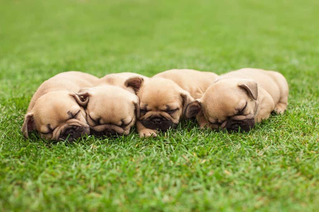 Sleeping French bulldog pups