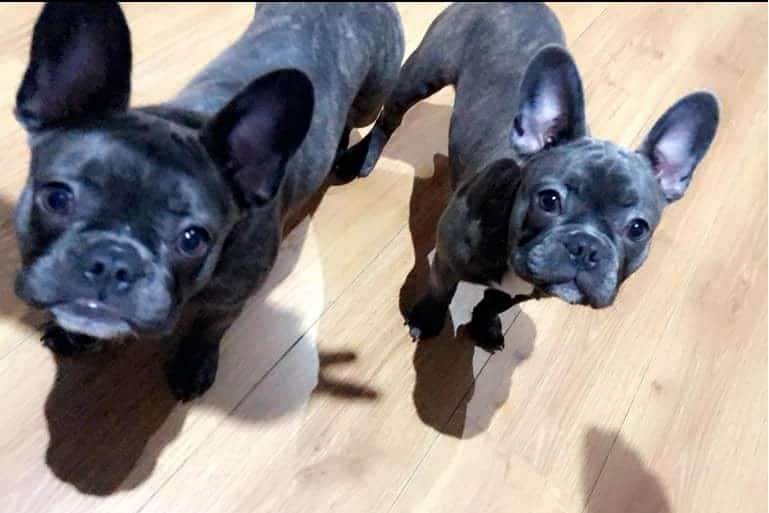 French Bulldog sisters